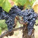 押さえておきたい!イタリアワインでよく使われるブドウの品種